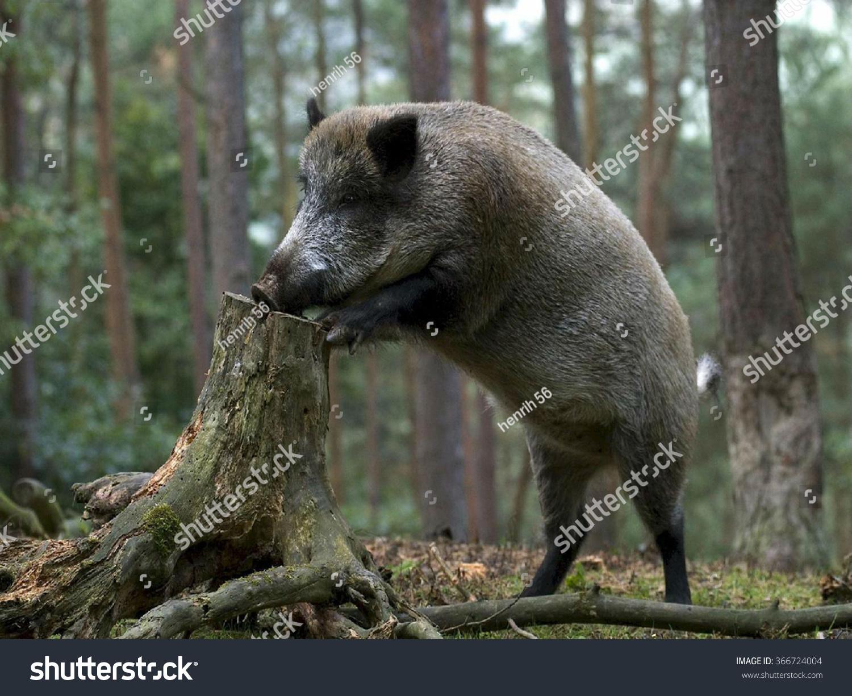 野猪寻找食物.-动物/野生生物,自然-海洛创意(hellorf
