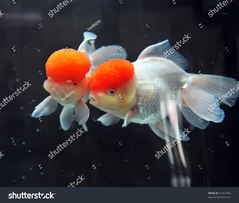红色帽子oranda金鱼,特写