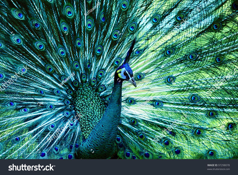 孔雀与完全煽动尾巴-动物/野生生物