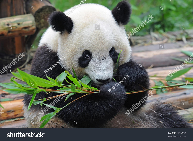 大熊猫吃竹子-动物/野生生物